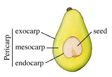 differences between endometrial vs uterine cancer - avocado
